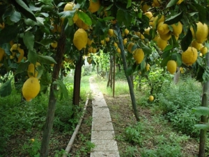 Pathways through Lemon Orchards
