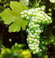 Verdiccio dei Castelli di Jesi grapes