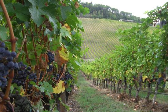 Antinori Vineyard