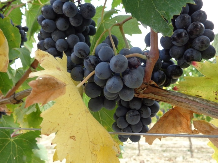 Plump juicy Verrazzano grapes