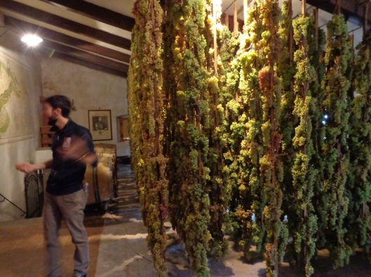 Trebbiano and Malvasia grapes hanging to dry for Vin Santo wine.