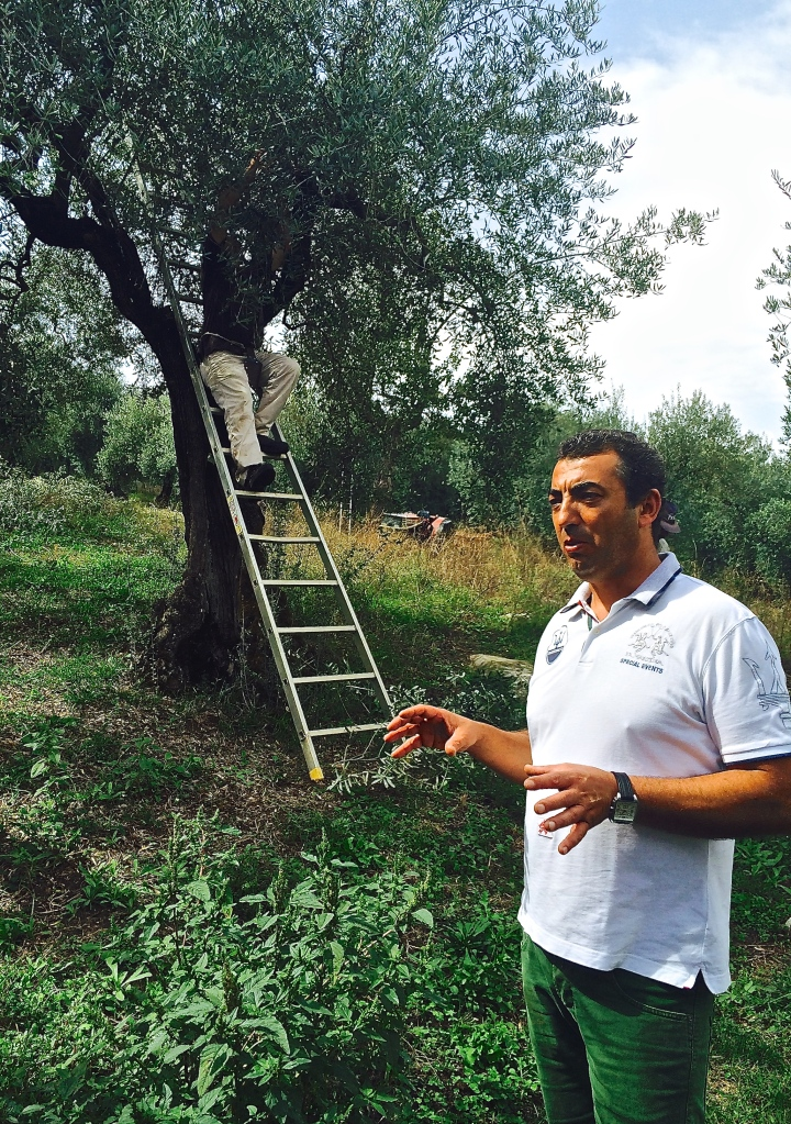 Paolo explains the harvesting the olives in the grove