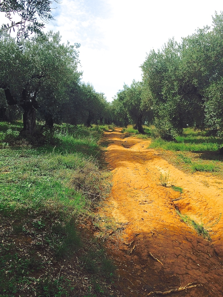 Bumpy dirt road runs through the olive grove